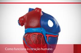 Como funciona o coração humano.